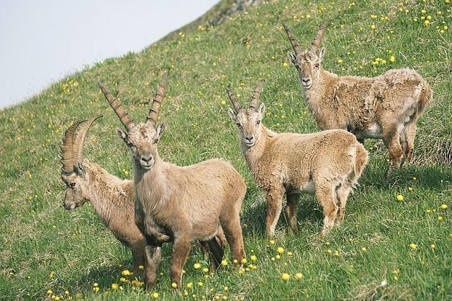 Stambecco Alpino, perché è a rischio di sopravvivenza
