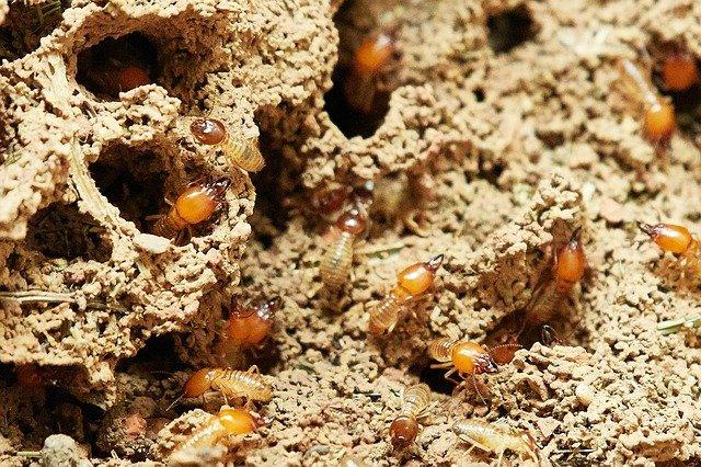Come combattere definitivamente le termiti con la disinfestazione